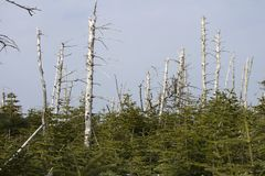 Νεκρά και ζωντανά αλπικά δέντρα στοκ φωτογραφίες