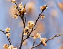 Νεκρά λουλούδια στο δέντρο την άνοιξη μετά από τον παγετό Στοκ φωτογραφία με δικαίωμα ελεύθερης χρήσης