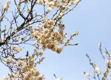Νεκρά λουλούδια στο δέντρο την άνοιξη μετά από τον παγετό Στοκ Φωτογραφία