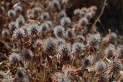 Νεκρά λουλούδια τριφυλλιού Στοκ εικόνες με δικαίωμα ελεύθερης χρήσης