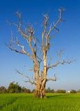 νεκρά ξηρά δέντρα Στοκ Εικόνες