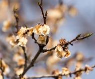 Νεκρά λουλούδια στο δέντρο την άνοιξη μετά από τον παγετό Στοκ εικόνες με δικαίωμα ελεύθερης χρήσης