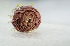 Νεκρά λουλούδια της Jasmine Στοκ Εικόνες