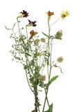 Νεκρά λουλούδια narigolds Στοκ φωτογραφία με δικαίωμα ελεύθερης χρήσης