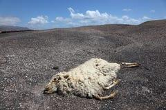 νεκρά πρόβατα Στοκ Φωτογραφίες