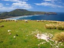 Νεκρά πρόβατα Στοκ εικόνα με δικαίωμα ελεύθερης χρήσης