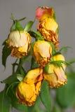 νεκρά τριαντάφυλλα Στοκ Εικόνα