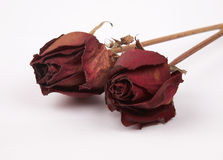 νεκρά τριαντάφυλλα Στοκ φωτογραφίες με δικαίωμα ελεύθερης χρήσης