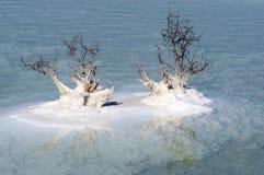 Νεκρά φυτά στη νεκρή θάλασσα Στοκ Εικόνα