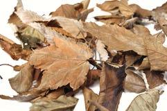 Νεκρά φύλλα Στοκ Εικόνα
