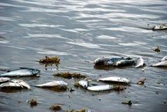 Νεκρά ψάρια στην παραλία ΙΙ στοκ φωτογραφίες