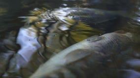 Νεκρά ψάρια στη ρύπανση νερού ποταμού, ατμοσφαιρική ρύπανση αιτιών βιομηχανικών αποβλήτων απόθεμα βίντεο