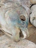 Νεκρά ψάρια Στοκ Φωτογραφίες