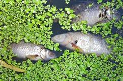 Νεκρά ψάρια Στοκ φωτογραφίες με δικαίωμα ελεύθερης χρήσης