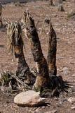 νεκρά δέντρα joshua Στοκ φωτογραφία με δικαίωμα ελεύθερης χρήσης