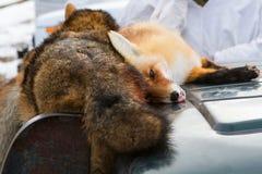 νεκρές αλεπούδες Στοκ φωτογραφία με δικαίωμα ελεύθερης χρήσης