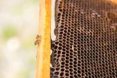 Νεκρές μέλισσες, που καλύπτονται με τη σκόνη και τα άκαρια σε μια κενή κηρήθρα από μια κυψέλη στην πτώση Στοκ Φωτογραφίες
