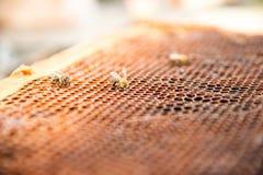 Νεκρές μέλισσες, που καλύπτονται με τη σκόνη και τα άκαρια σε μια κενή κηρήθρα από μια κυψέλη στην πτώση Στοκ Εικόνες