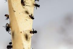 Νεκρές μύγες που κολλιούνται σε μια κολλώδη παγίδα μυγών Στοκ εικόνα με δικαίωμα ελεύθερης χρήσης
