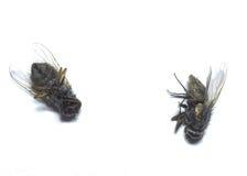 Νεκρές μύγες στο άσπρο υπόβαθρο Στοκ φωτογραφία με δικαίωμα ελεύθερης χρήσης