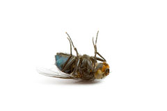 νεκρή μύγα κινηματογραφήσ&eps Στοκ Φωτογραφίες