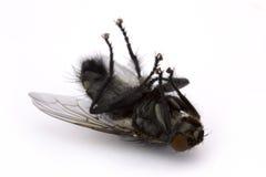 νεκρή μύγα πέρα από το λευκό Στοκ Φωτογραφία