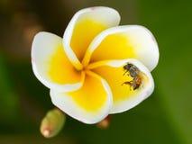 Νεκρή μύγα σε ένα κίτρινο λουλούδι Στοκ φωτογραφίες με δικαίωμα ελεύθερης χρήσης