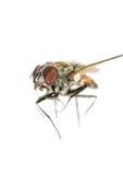Νεκρή μύγα στο απομονωμένο άσπρο υπόβαθρο κοντά επάνω Στοκ Φωτογραφία