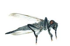 νεκρή μύγα Στοκ Φωτογραφία