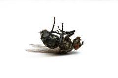 Νεκρή μύγα Στοκ εικόνες με δικαίωμα ελεύθερης χρήσης
