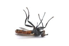 νεκρή μύγα Στοκ φωτογραφίες με δικαίωμα ελεύθερης χρήσης