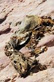 Νεκρή σφραγίδα Στοκ Εικόνες