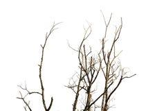 Νεκροί γυμνοί κλάδοι δέντρων στο άσπρο υπόβαθρο Στοκ Φωτογραφία