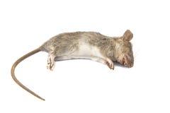 Νεκρός αρουραίος στο άσπρο υπόβαθρο Στοκ Εικόνα
