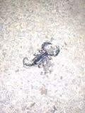 Νεκρός γιγαντιαίος μαύρος σκορπιός στοκ εικόνες