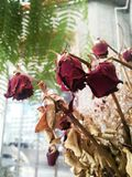 Νεκρός και ξηρός αυξήθηκε λουλούδια Στοκ Φωτογραφία