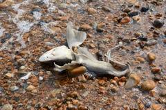 Νεκρός καρχαρίας ομαλός-κυνηγόσκυλων που πλένεται στην ξηρά Στοκ εικόνες με δικαίωμα ελεύθερης χρήσης