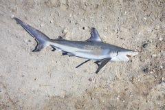 Νεκρός καρχαρίας στο έδαφος στοκ εικόνες