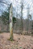 Νεκρός κορμός δέντρων στο δάσος στοκ φωτογραφία με δικαίωμα ελεύθερης χρήσης