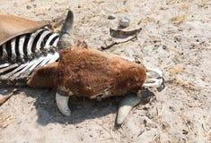 Νεκρός μέσος στενός επάνω αγελάδων στοκ εικόνα με δικαίωμα ελεύθερης χρήσης
