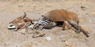 Νεκρός μέσος στενός επάνω αγελάδων στοκ εικόνες με δικαίωμα ελεύθερης χρήσης