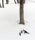 Νεκρός μαύρος κόρακας που βρίσκεται στο χιόνι Στοκ φωτογραφίες με δικαίωμα ελεύθερης χρήσης