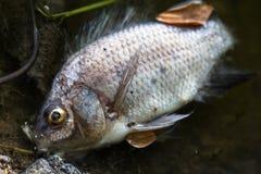 Νεκρός ποταμός ψαριών Στοκ εικόνες με δικαίωμα ελεύθερης χρήσης