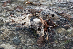 νεκρός σολομός Στοκ εικόνες με δικαίωμα ελεύθερης χρήσης