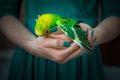 Νεκρός budgerigar κρατιέται στα χέρια στοκ φωτογραφίες
