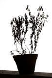 Νεκρός houseplant Στοκ Εικόνα