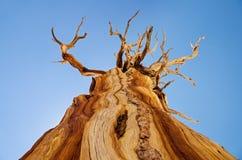 Νεκρό δέντρο πεύκων Στοκ φωτογραφία με δικαίωμα ελεύθερης χρήσης