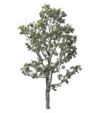 Νεκρό δέντρο που απομονώνεται στην άσπρη ανασκόπηση Στοκ Εικόνα