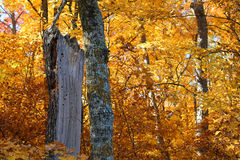 Νεκρό δέντρο που περιβάλλεται από τα χρυσά φύλλα το φθινόπωρο Στοκ εικόνες με δικαίωμα ελεύθερης χρήσης