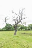 Νεκρό δέντρο σε έναν πολύβλαστο πράσινο τομέα Στοκ Εικόνα